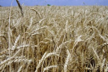 Школьники засеяли пшеницей целое поле для птиц и чиновников